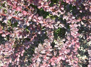 Berberis Thun. Royal Burgundy