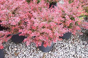Berberis Thunb. Cherry Bomb