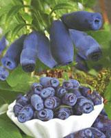 Camérisier Edulis Berry Blue