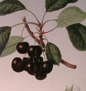 Cerisier Stella
