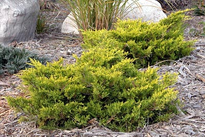 Juniperus Chin. Old Gold