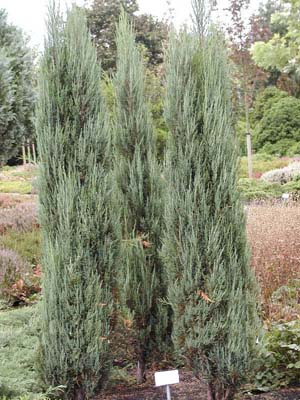 Juniperus Scop. Blue Arrow