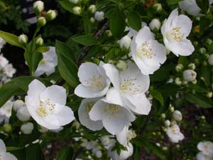 Philadelphus Innocence