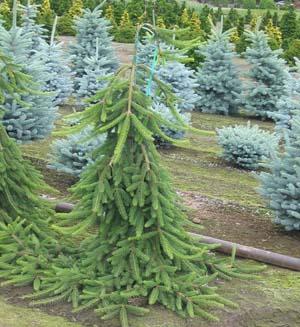 Picea Ab. Pendula