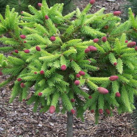 Picea Ab. Push