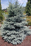 Picea Pung. Baby Blue