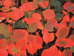 Aronia Mel. Autumn Magic