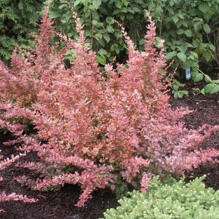 Berberis Thunb. Rosy Glow