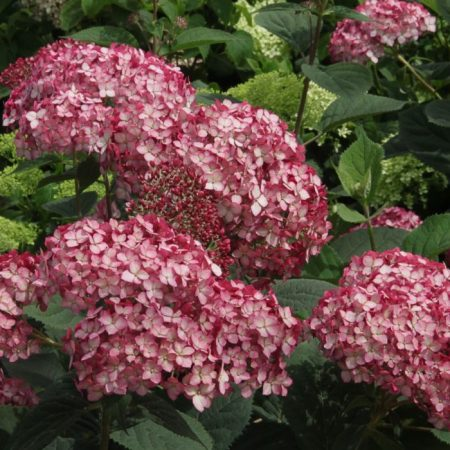 Hydrangea Arb. Invincibelle Ruby