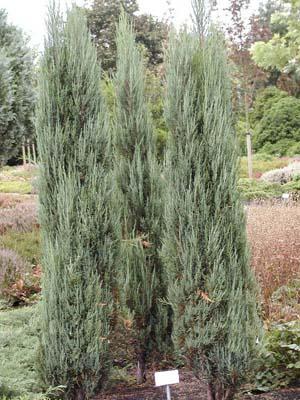 Juniperus Scop. Blue Arrow