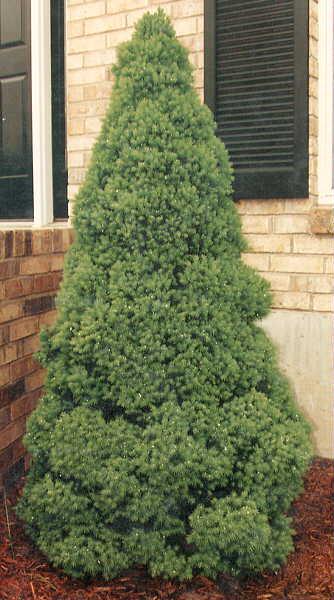 Picea Glauc. Conica